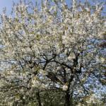 hvidt-blomstertræ-150x150
